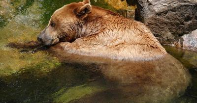 Alpenzoo Innsbruck / Bär entspannt sich im Wasser