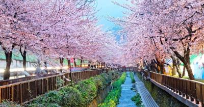 Busan - Kirschblüte