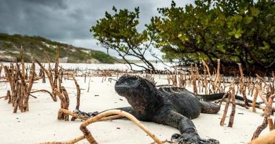 Galapagosinseln - Meerechse am Strand
