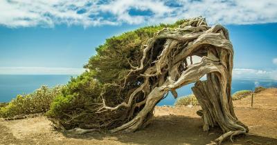 El Hierro -  windgebeugter Baum