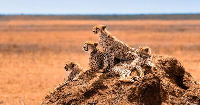 Tansania - Wildkatzenfamilie