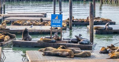 Fisherman's Wharf - Seelöwen