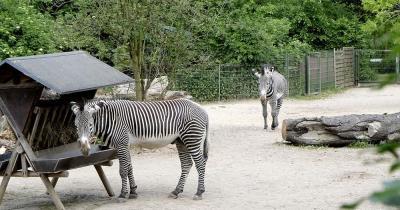 Kölner Zoo - Zebra Gehege