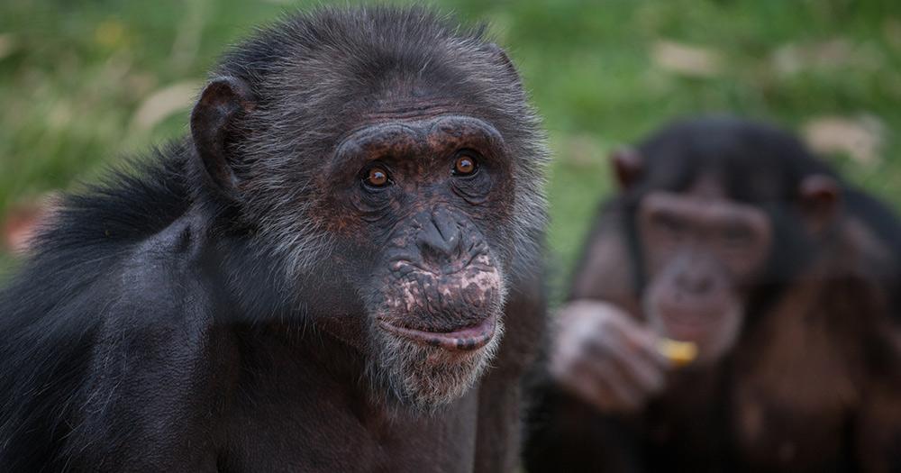 Victoriasee / Schimpansen von der Jabe Goodall Institute