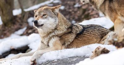 Alpenzoo Innsbruck / zwei Wölfe im Schnee