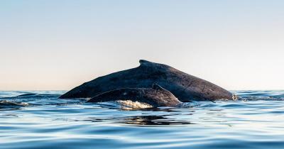 Makalawena Beach / zwei Buckelwale beim Atmen an der Wasseroberfläche