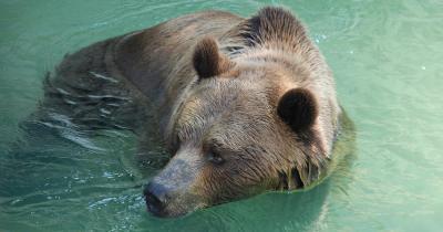 Tierpark Bern / Braunbär im Wasser