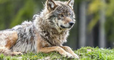 Wildnispark Zürich Langenberg / ein liegender Wolf