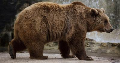Wildnispark Zürich Langenberg / ein stehender Bär
