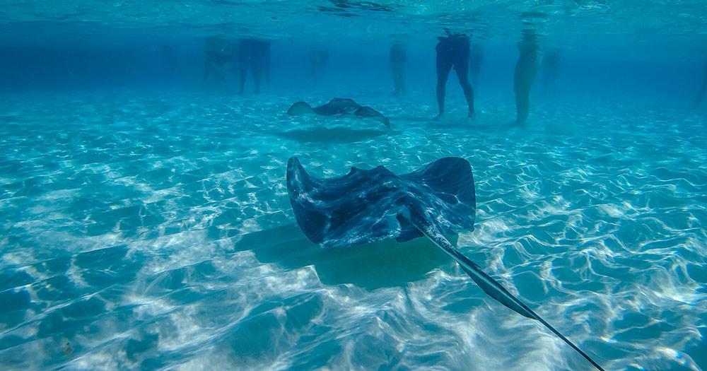 Cayman Islands / Manta Rochen im Meer
