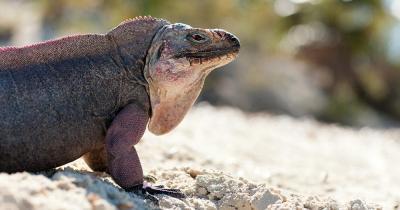 Isla Iguana - ein Leguan in Isla Iguana