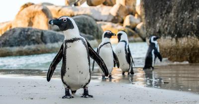Bouder Beach - Afrikanische Pinguine am Sandstrand