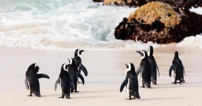 Bouder Beach - Nahaufnahme der Pinguine am Bouder Beach