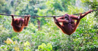 Kinabalu - Orang-Utans aus Sabah im malaysischen Borneo