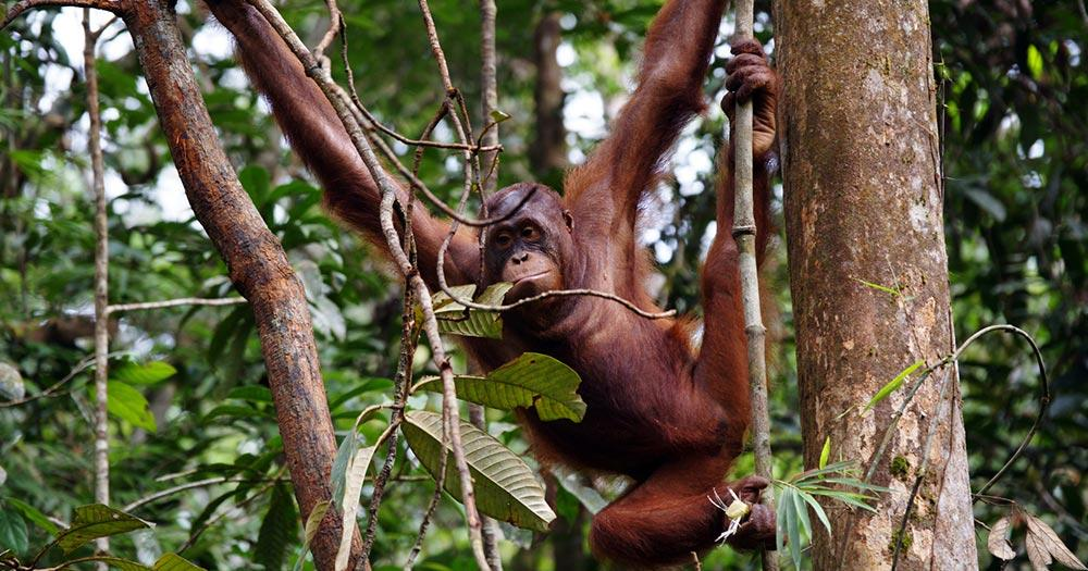 Borneo  - Orang-Utans im Regenwald von Borneo