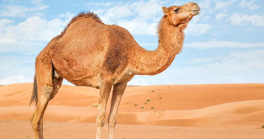 Rimal Al Wahiba - ein Kamel in der Wüste