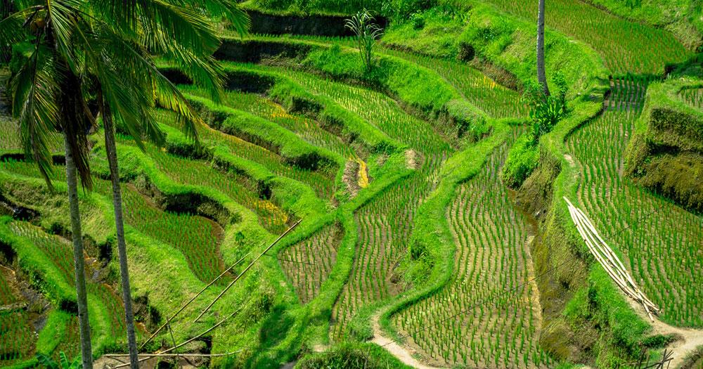 Bali - Reisfelder Terrassen