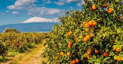 Ätna - Orangenplantage am Fuße des Vulkans