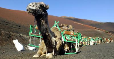 Timanfaya - Kameltransport