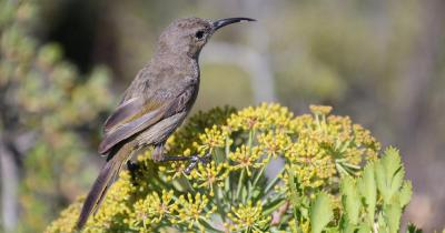 Botanischer Garten Kirstenbosch - Vogel auf Blüte