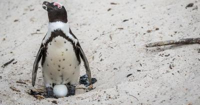Boulders Beach - Pinguin